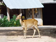 What species of deer is shown in this image from the Tiger Temple in Thailand?