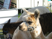 Alpacas on show in the UK